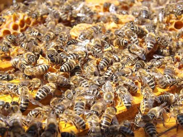 bien choisir un essaim d'abeilles