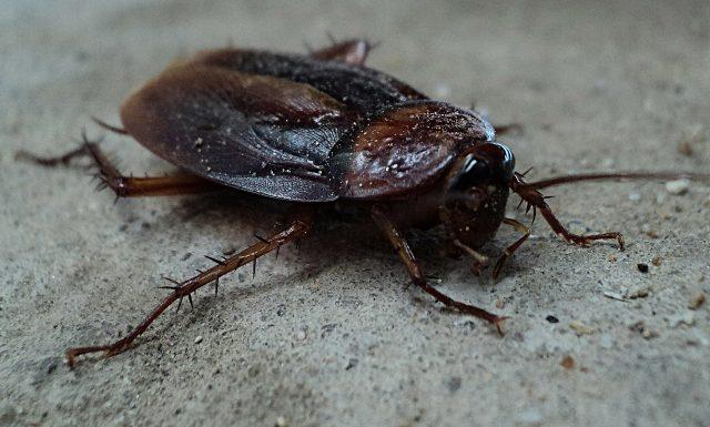 Les cafards sont de vieux insectes qui ont su résister aux années